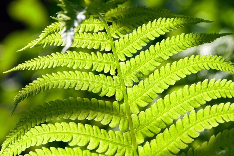 Zaświecający paprociowy liść obraz stock