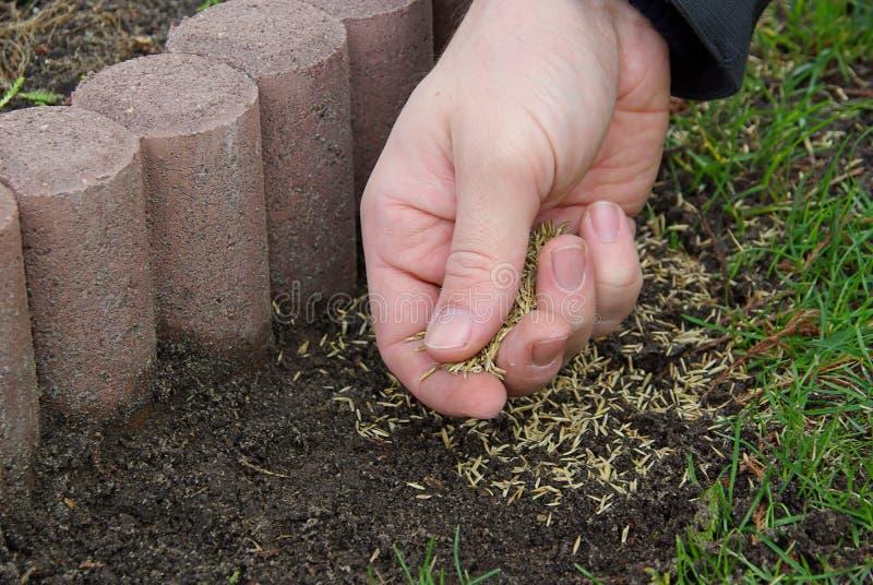 Zaad 02 van het gras stock foto's