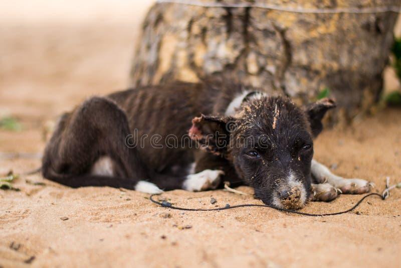 Zaad, verwaarloosd, mishandeld of misbruikt en verlaten puppy dog in het zand, op een touwneus vol zand stock afbeeldingen