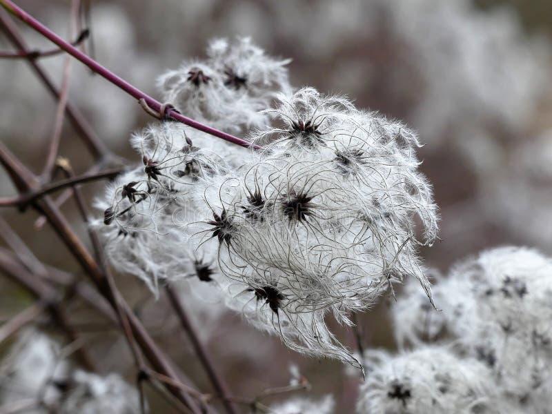 Zaadhoofden met zijdeachtige aanhangsels van clematissenvitalba of de vreugde van de reiziger in de vroege lente stock foto's