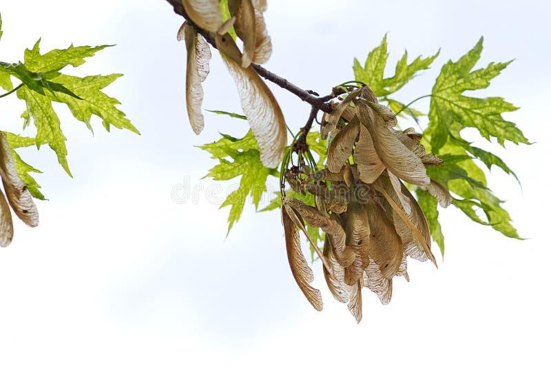 Download Zaadpeulen Die Op Boomtak Hangen Stock Foto - Afbeelding bestaande uit boom, seizoengebonden: 54091796
