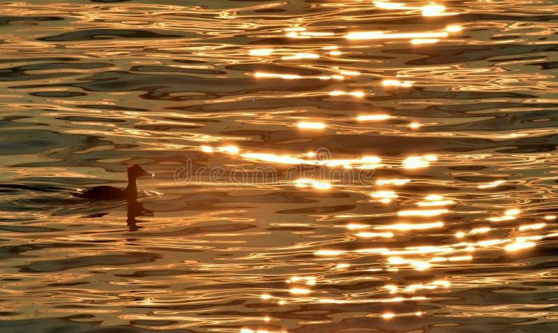 Zaagbek die in prachtig zonsondergang weerspiegeld water zwemmen royalty-vrije stock afbeelding