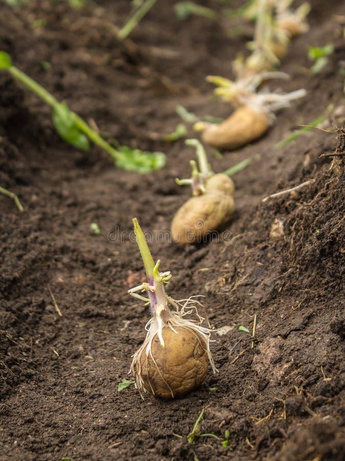 Zaaiende aardappels royalty-vrije stock fotografie