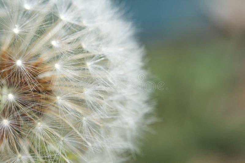 Download Zaaiende Paardebloembloem stock foto. Afbeelding bestaande uit springtime - 54091630