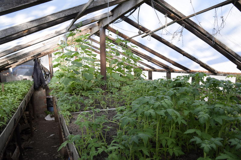Zaailingen in de serre Het kweken van groenten in serres royalty-vrije stock afbeeldingen