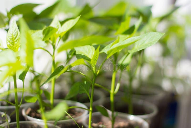 zaailingen gekweekte spruiten van groene paprika in koppen op de vensterbank royalty-vrije stock afbeelding