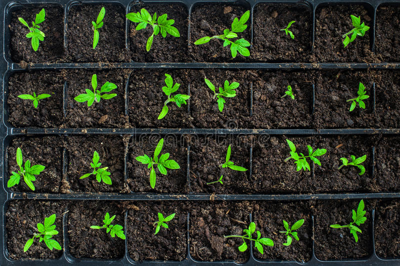 Zaailingen in germinatiedienblad royalty-vrije stock afbeelding