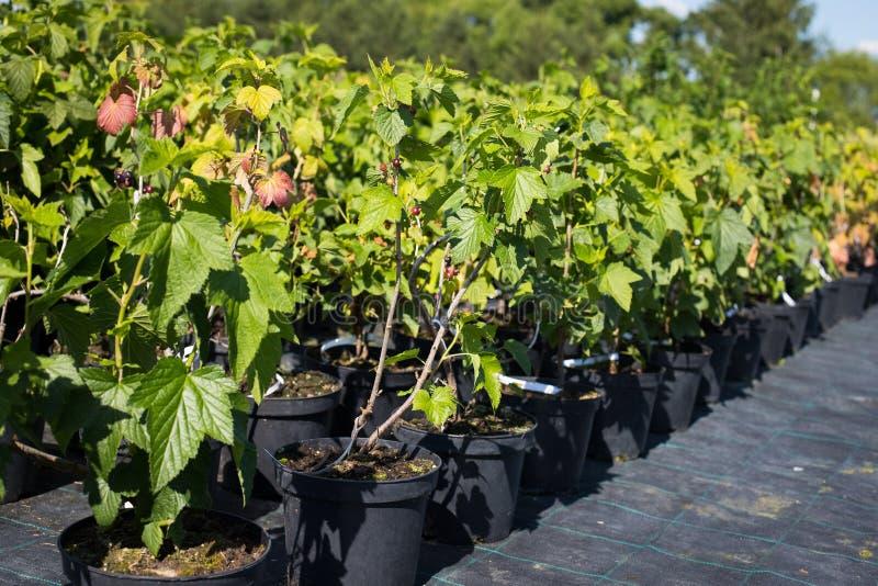 Zaailingen van Blackcurrants in Potten die in Tuinkinderdagverblijf groeien royalty-vrije stock foto's
