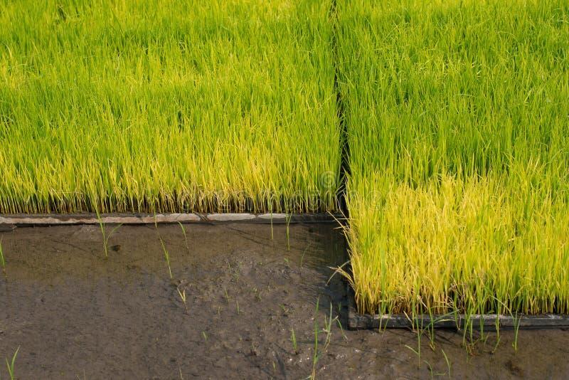 Zaailingen van rijst in padievelden oung groeit de rijst in p stock foto