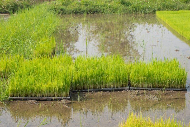 Zaailingen van rijst in padievelden oung groeit de rijst in p royalty-vrije stock fotografie