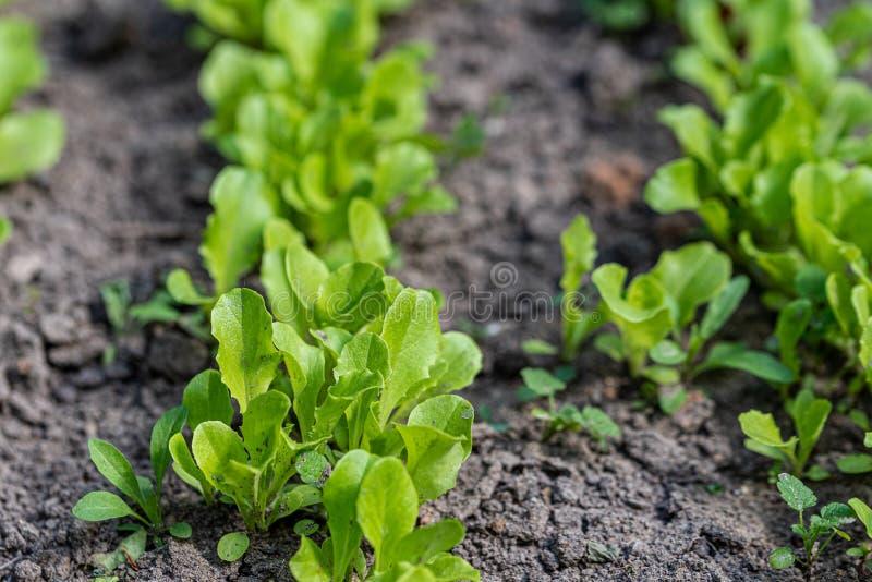 Zaailingen van sla in de tuin Nuttig gras in de tuin Sluit omhoog Selectieve nadruk stock fotografie
