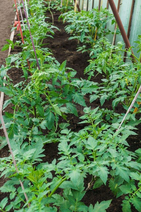 Zaailingen van tomaat Het kweken van tomaten in de serre Het kweken van groenten in serres stock afbeelding