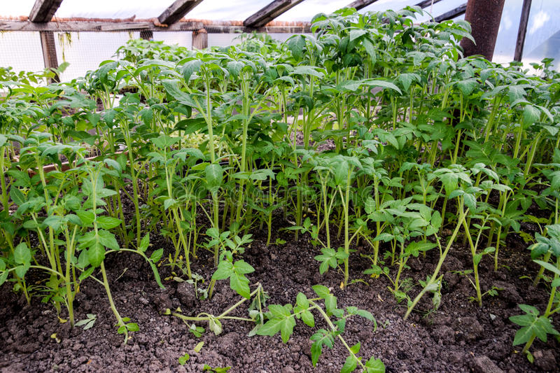 Zaailingen van tomaat Het kweken van tomaten in de serre Seedlin royalty-vrije stock foto's