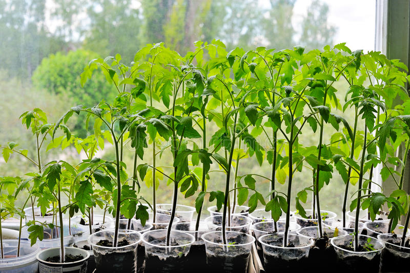 Zaailingen van tomaat op de venstervensterbank stock foto's