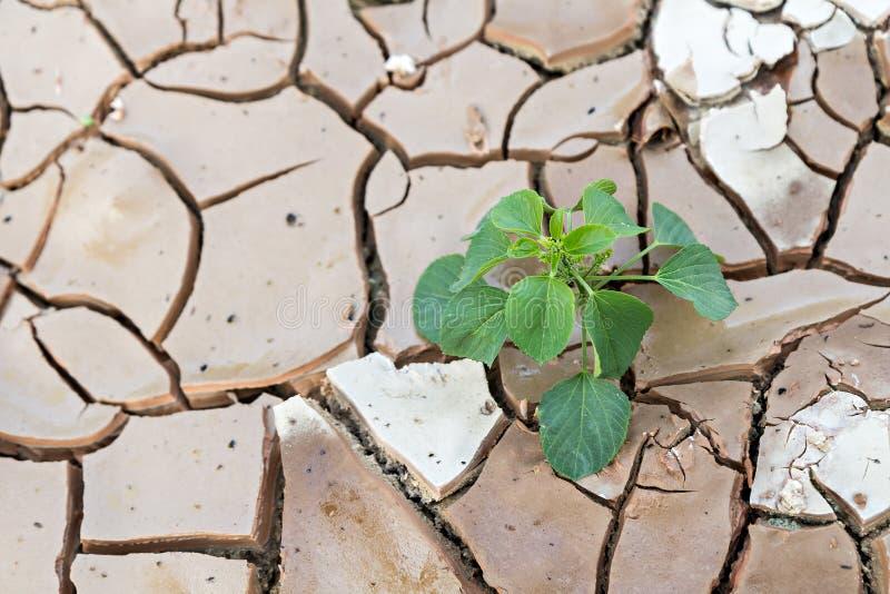 Zaailingenspruit het groeien op droge en gebarsten grond stock foto