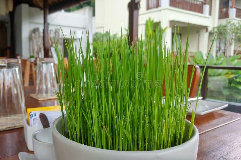 Zaailingsrijst in ronde witte pot op houten lijst dichtbij de kop en het glas Leef groen sappig gras in kom met regendruppels stock fotografie