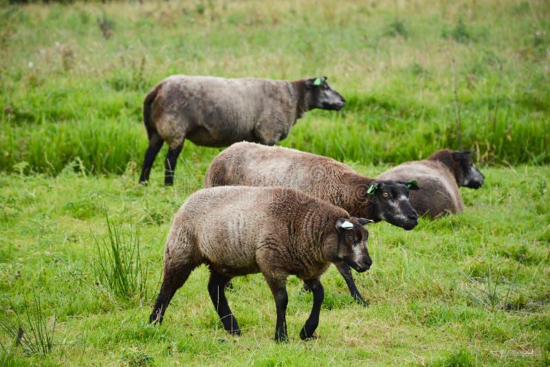 Zaandam, Κάτω Χώρες - 11 Αυγούστου 2015: Πρόβατα κατά τη βοσκή στα πόλντερ σε Zaanse Schans στοκ εικόνες