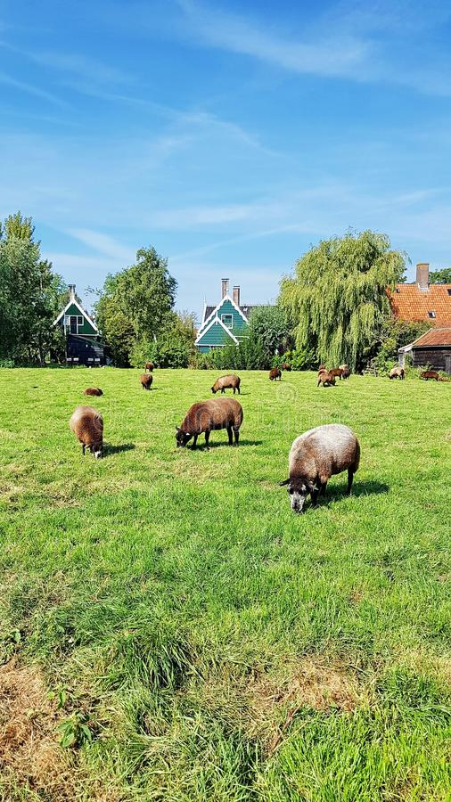 Grazing sheeps in Zaanse Schans, the Netherlands. royalty free stock photo