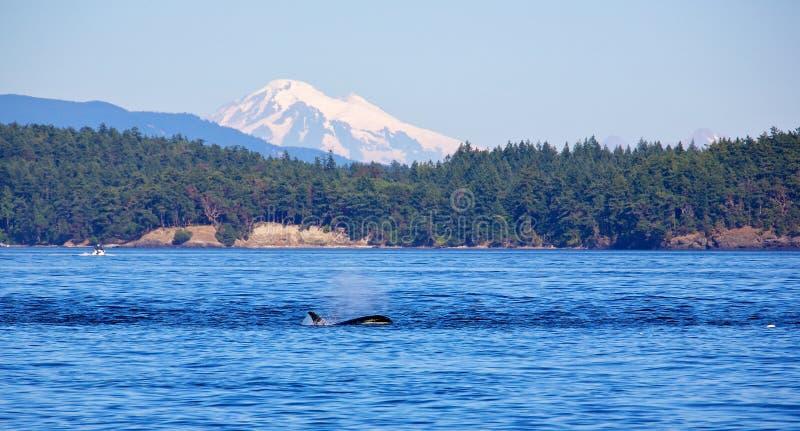 zabójców wieloryby fotografia royalty free