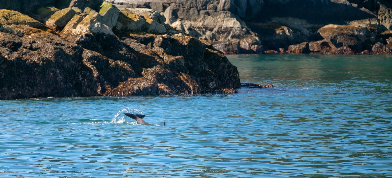 Zab?jcy Whate orki ogon w Kenai Fjords parku narodowym w Seward Alaska usa obraz royalty free