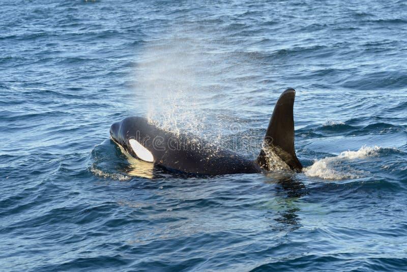 Zabójcy wieloryb zdjęcia royalty free