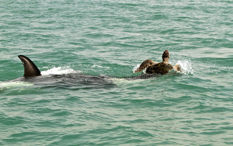 Zabójcy wieloryb atakuje gigantycznego żółwia fotografia stock
