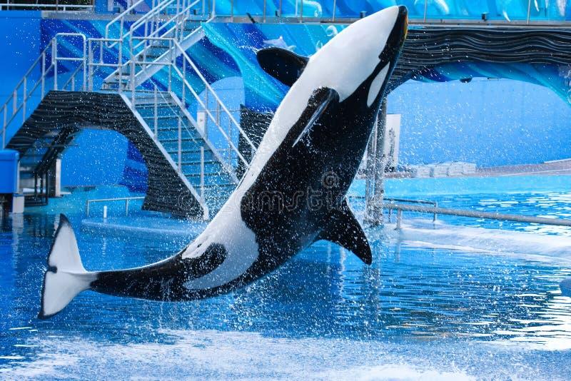 Zabójcy Wieloryba doskakiwanie fotografia stock