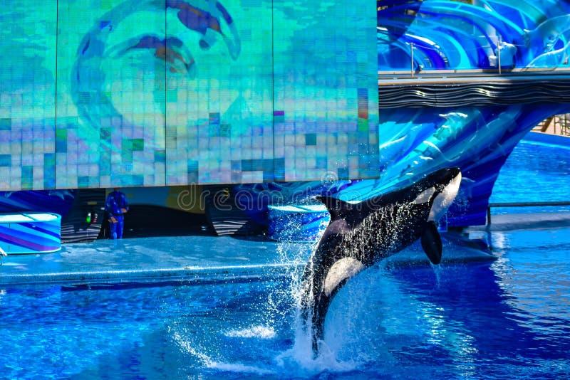 Zabójcy wieloryba doskakiwanie na błękitne wody w Jeden oceanu przedstawieniu przy Seaworld 1 zdjęcie royalty free