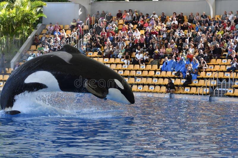 Zabójcy wieloryba doskakiwanie w basenie obraz royalty free