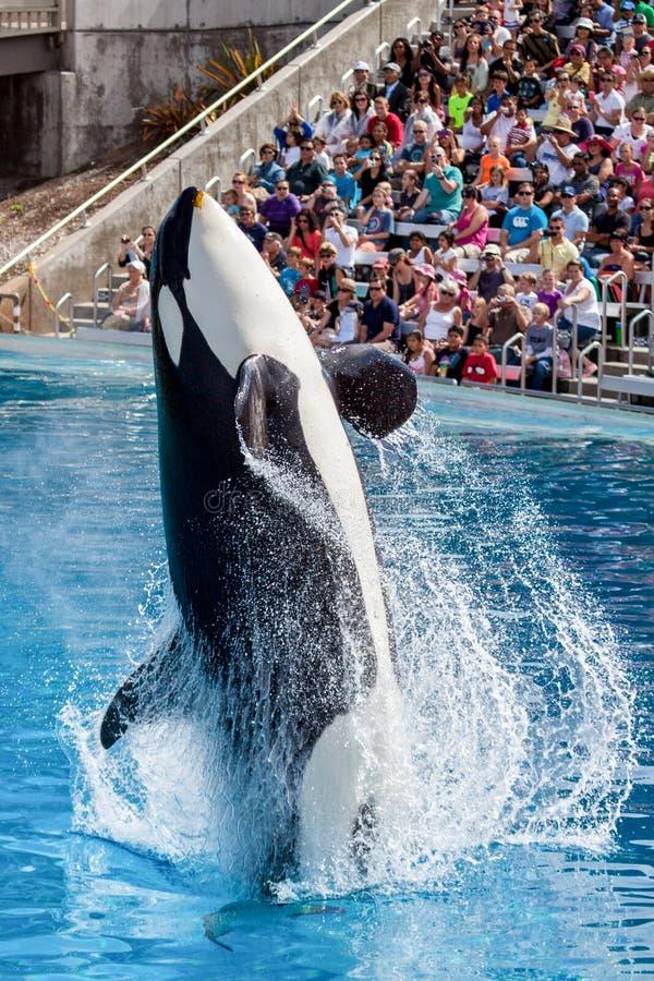 Zabójcy wieloryba orki doskakiwanie od wody przy Dennym światem obrazy royalty free