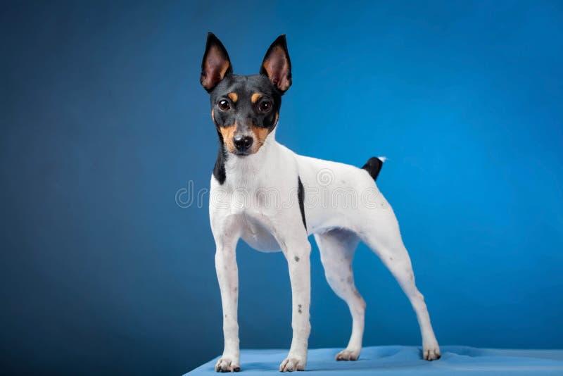 Zabawkarski Fox Terrier fotografia stock