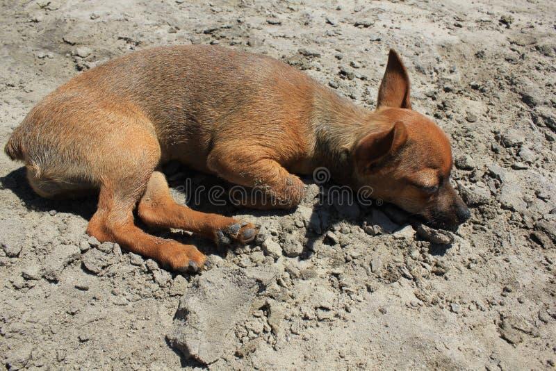 Zabawkarski terier kłama na piaskowatej plaży zdjęcia stock