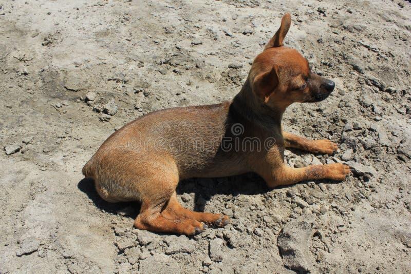 Zabawkarski terier kłama na piaskowatej plaży 31244 zdjęcia royalty free