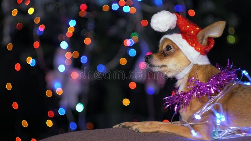 Zabawkarski Terrier jest żółtym nowego roku ` s psem obraz royalty free
