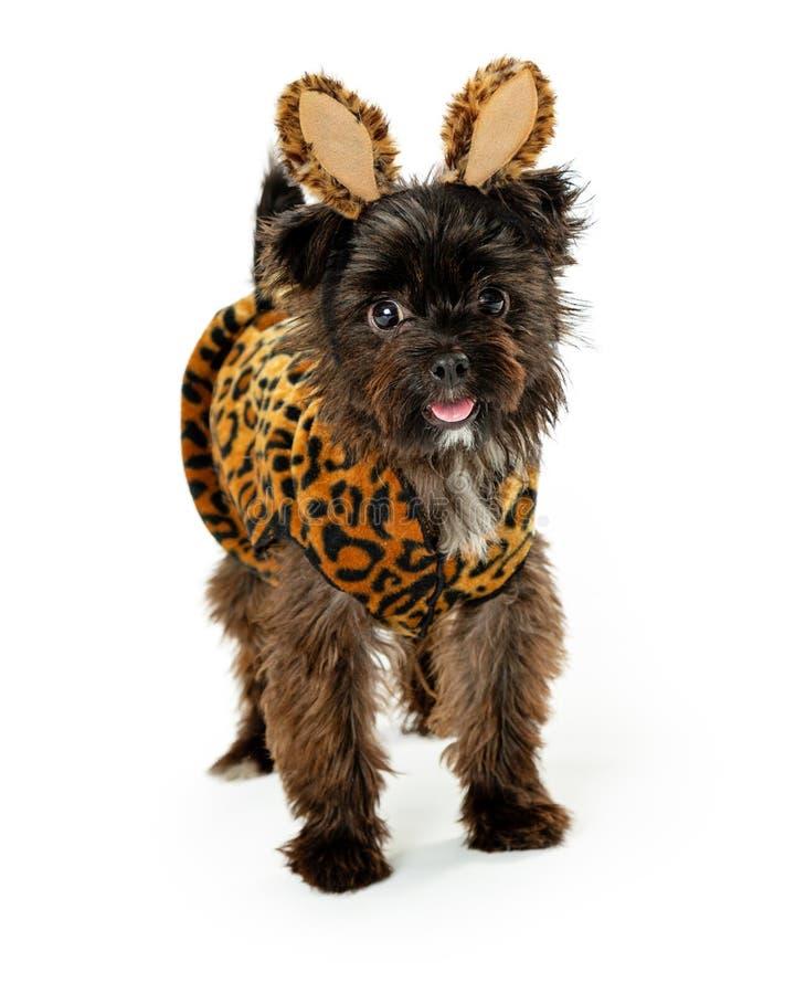 Zabawkarskiego trakenu dzikiego zwierzęcia Halloween Psi Jest ubranym kostium obrazy stock