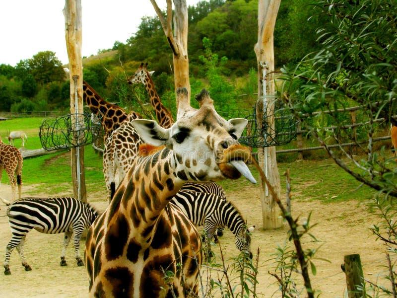 zabawna żyrafa zdjęcia stock