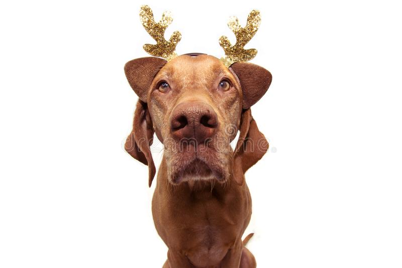 Zabawne zwierzątko z psem świętującym święta, ubrane jak renifer Izolowany na białym tle zdjęcia stock