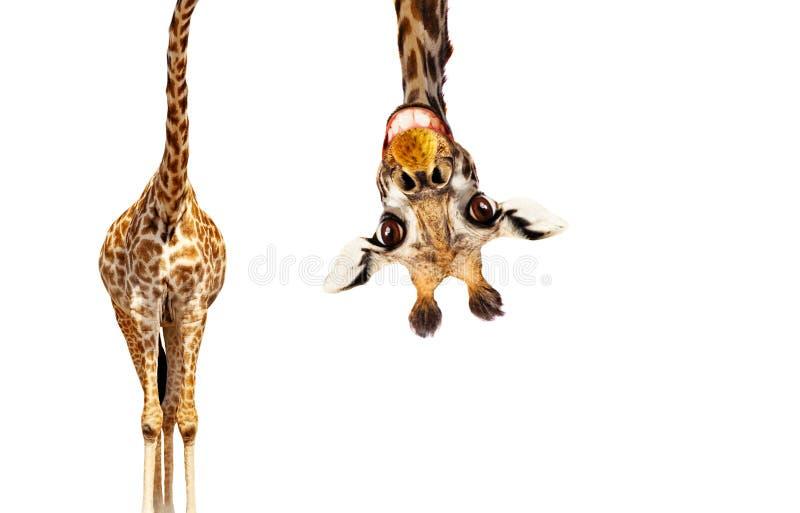 Zabawny, ładny portret żyrafy na biało zdjęcia stock