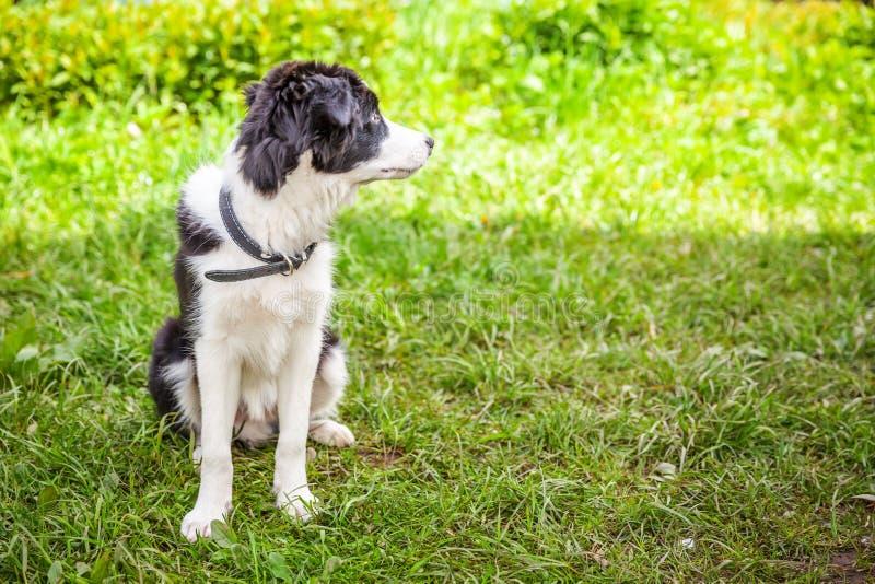 Zabawny portret na zewnątrz słodkiego szczeniaka granicznego collie siedzącego na trawniku z zieloną trawą w parku lub w tle ogro zdjęcie royalty free