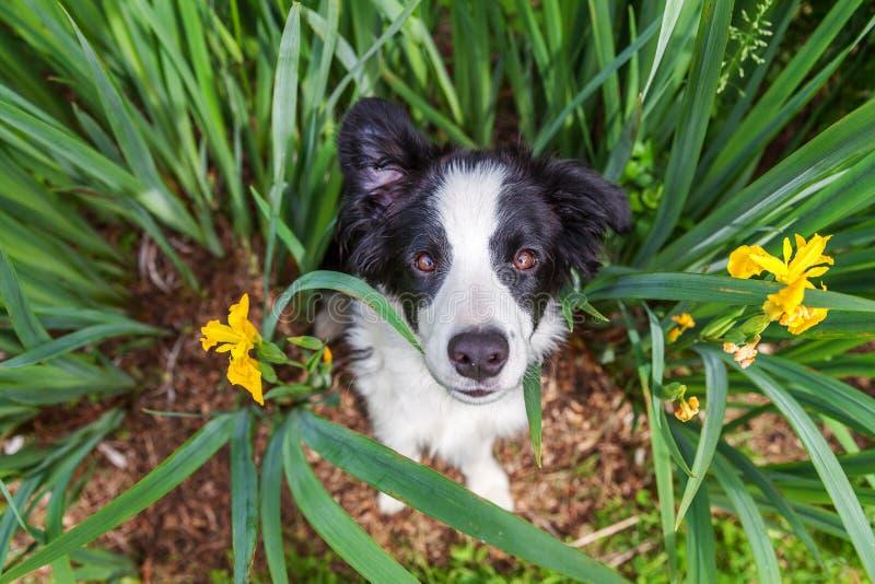 Zabawny portret na zewnątrz słodkiego szczeniaka granicznego collie siedzącego na trawniku z zieloną trawą w parku lub w tle ogro fotografia stock