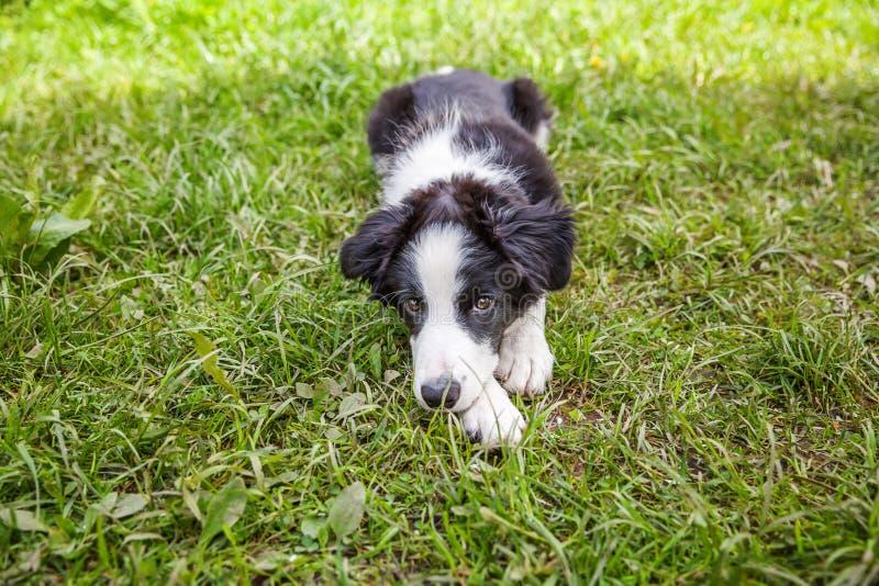 Zabawny portret na zewnątrz słodkiego uśmiechniętego szczeniaka granicznego leżącego na trawniku zielonej trawy w parku lub tle o obrazy royalty free