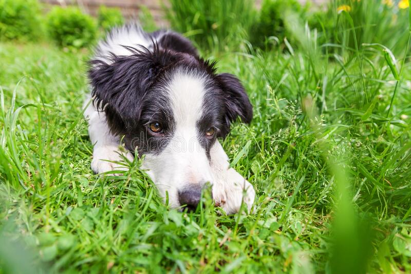 Zabawny portret na zewnątrz słodkiego uśmiechniętego szczeniaka granicznego leżącego na trawniku zielonej trawy w parku lub tle o obraz stock
