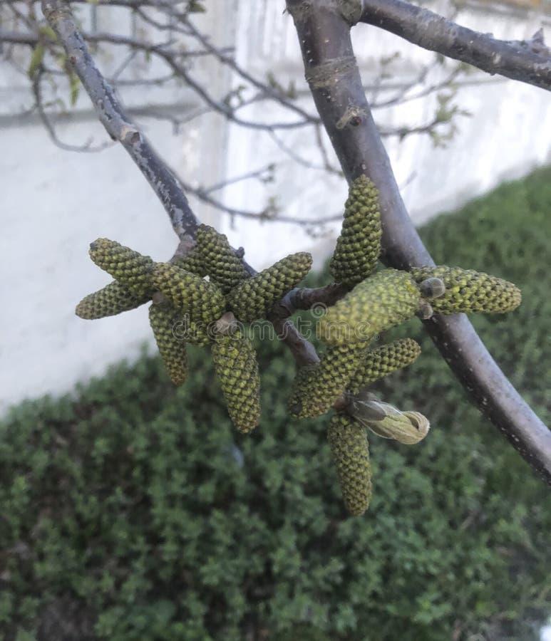zabawy trzy zieleni krótkopędy na drzewie fotografia stock