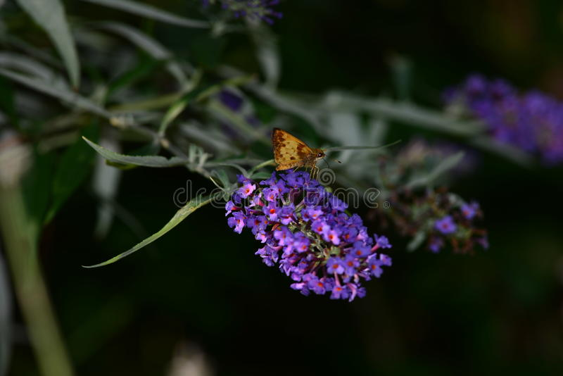 Zabulon Skipper Moth royalty free stock photos