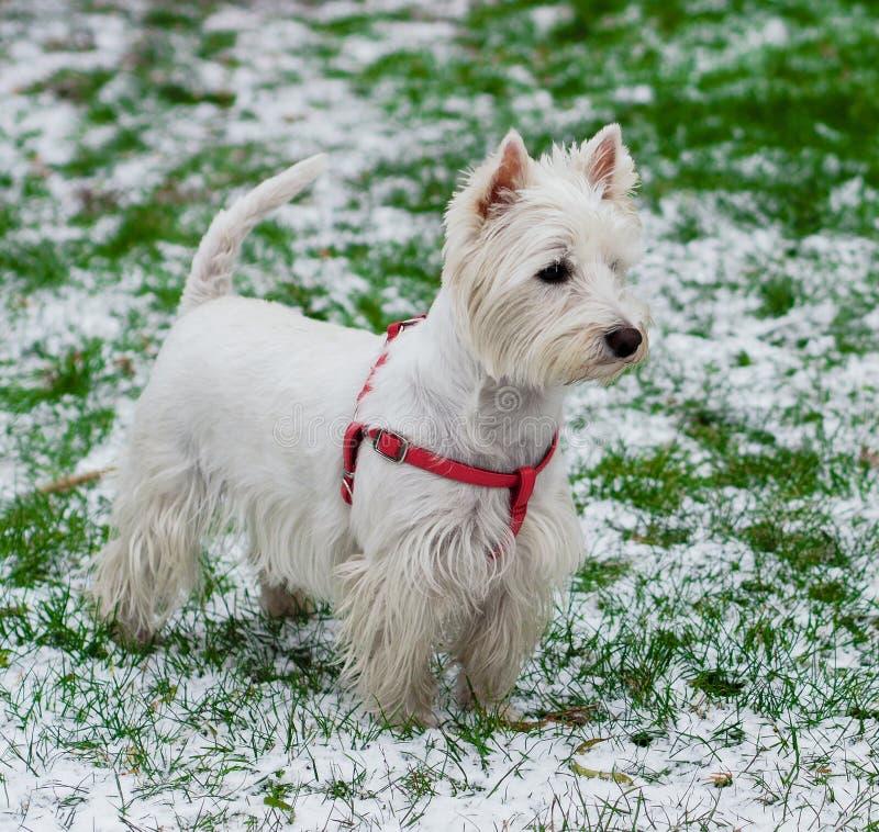 Zachodni średniogórze Biały Terrier obraz royalty free