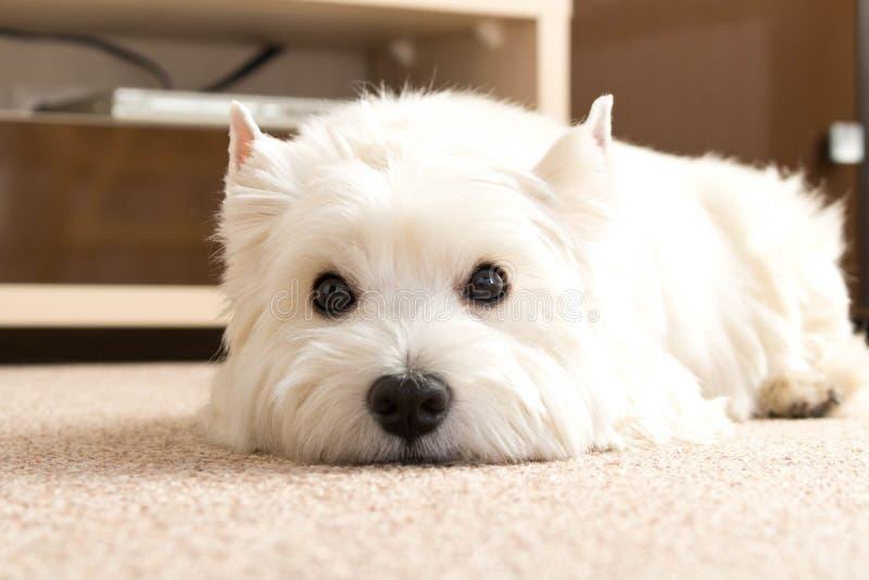 Zachodni średniogórze biały Terrier kłama w domu na dywanie Najlepszy Fri zdjęcia royalty free