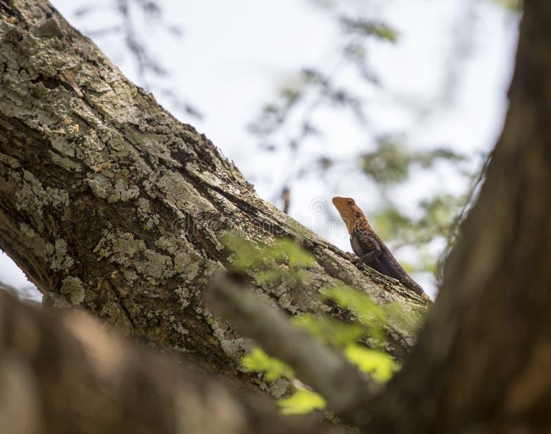 Zachodni - afrykańska tęczy jaszczurka zdjęcia stock