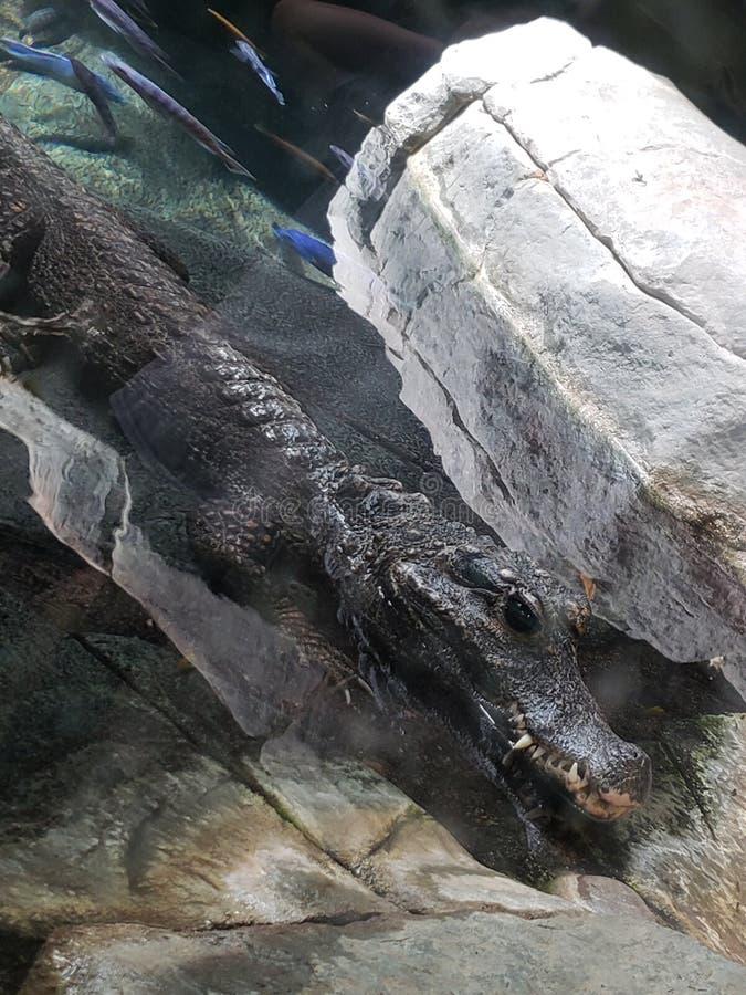 Zachodni - afrykanina kar?owaty krokodyl obrazy stock