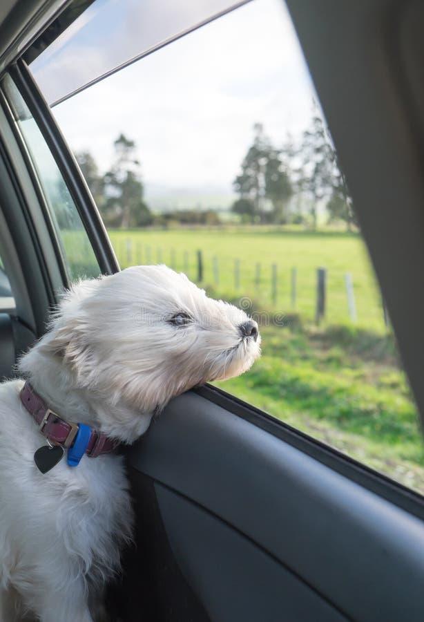 Zachodni górski teriera westie pies z głową z samochodowego okno i obrazy stock