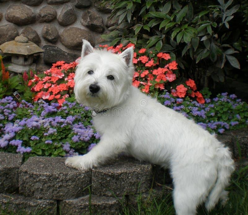 Zachodni Górski Terrier obraz stock